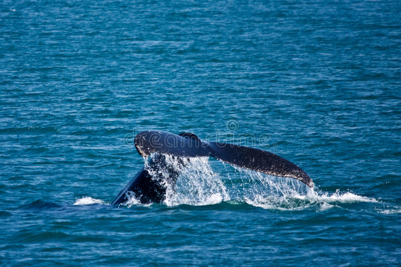 Humpback di immersione subacquea fotografia stock libera da diritti