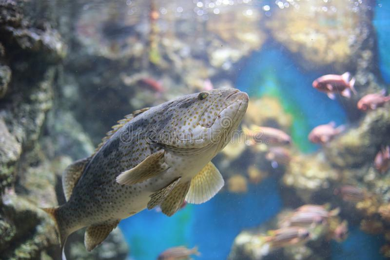 Humpback grouper fotografia royalty free