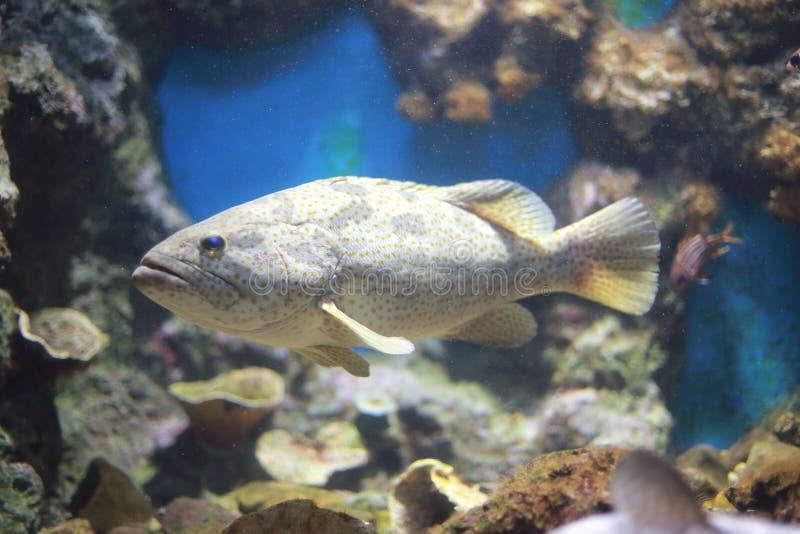 Humpback grouper obrazy stock
