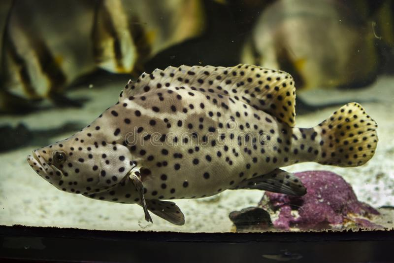 Humpback grouper Cromileptes altivelis zdjęcie stock