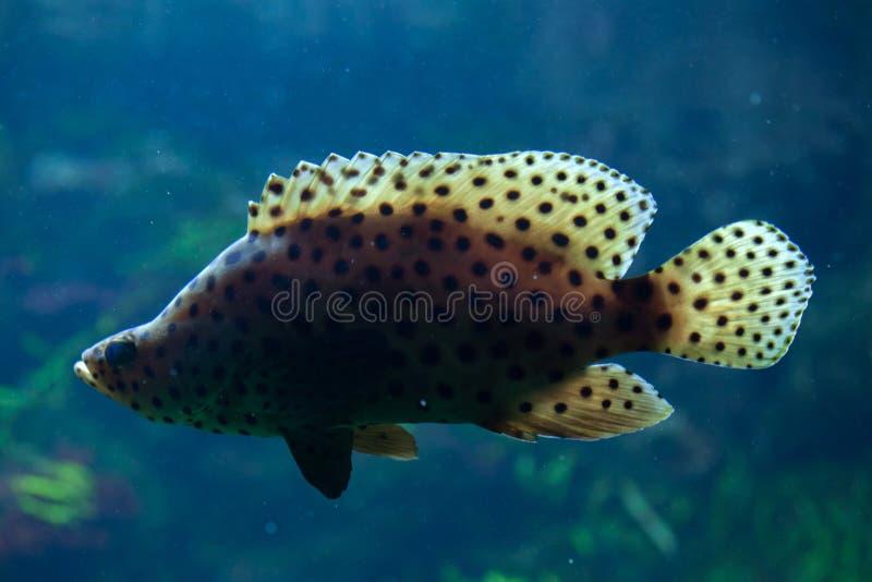 Humpback grouper Cromileptes altivelis zdjęcie royalty free