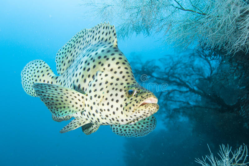 Humpback grouper stock photos