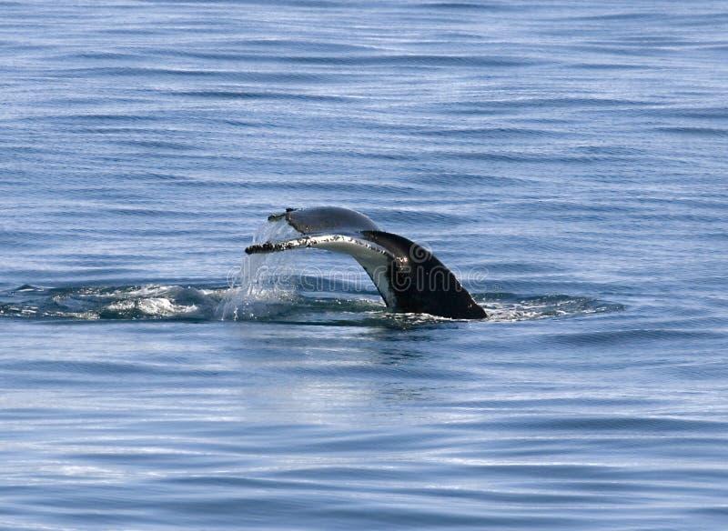 humpback ogon zdjęcia royalty free