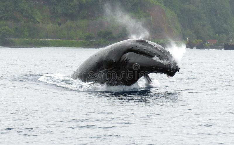 Humpback in Polynesia royalty free stock photography