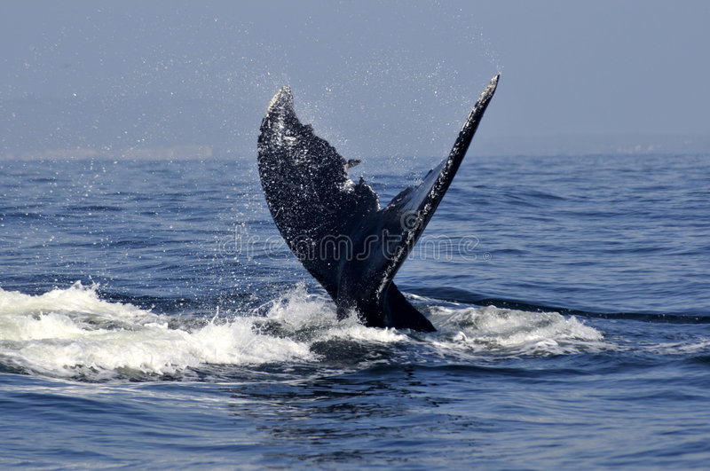 Download Humpback Tail 2 Stock Photography - Image: 8728882