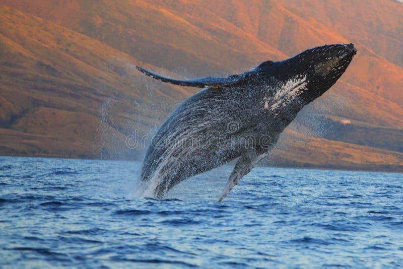 humpback TARGET1803_0_ wieloryb obrazy stock