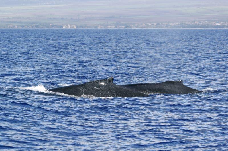 humpback tylny wieloryb dwa zdjęcie royalty free