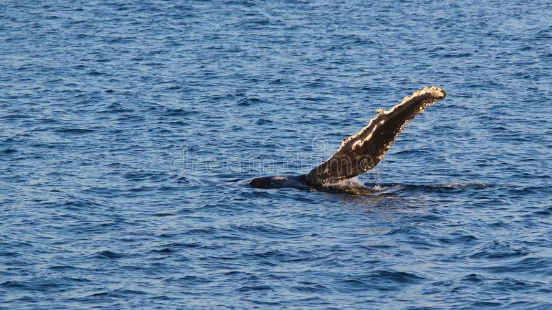Humpback waves a pectoral. A whale raises a huge pectoral fin royalty free stock image