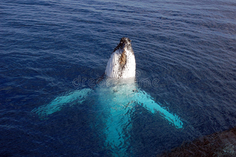 Download Humpback whale stock image. Image of rare, hump, back - 12270921