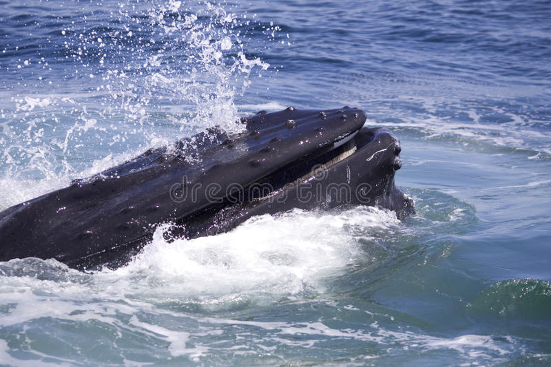 Humpback whale. A big humpback whale washing out the salt water after feeding stock image