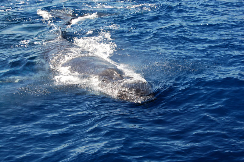 Humpback Whale. Surfaces in the Pacific Ocean in Maui, Hawaii royalty free stock images