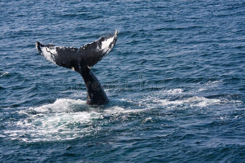 Humpback whale. (Megaptera novaeangliae) in Atlantic ocean stock photo