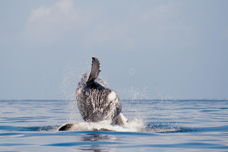 Humpback whale. Off the Sainte-Marie island, east of Madagascar royalty free stock images