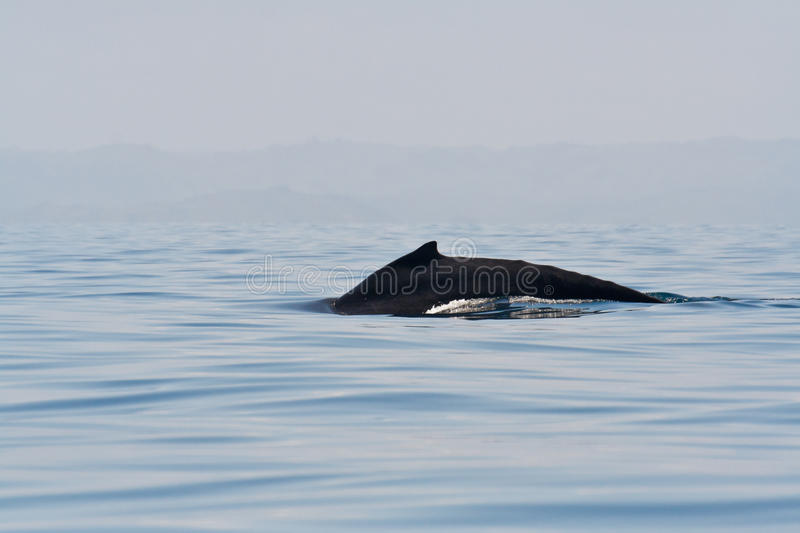 Humpback whale. Off the Sainte-Marie island, east of Madagascar royalty free stock image