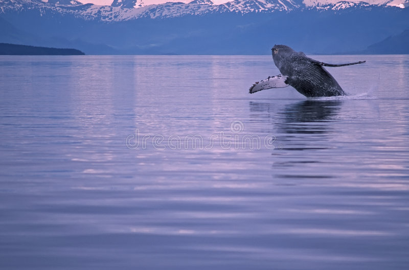 Humpback whale. Breach in SW Alaska stock photo