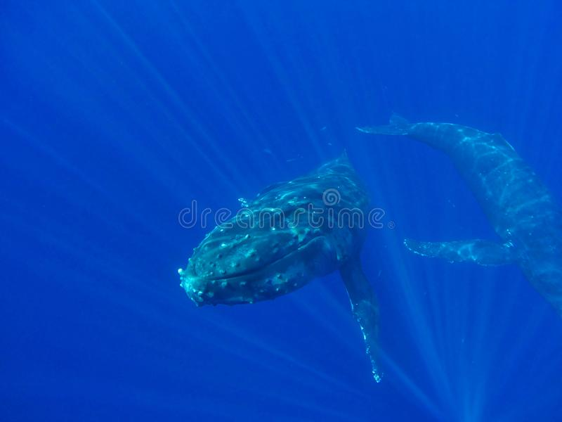Humpback Whale Maui Hawaii 3 of 7. Humpback whale approaches camera. These incredible animals can be seen each winter off the coast of Maui, Hawaii. 3 of 7 royalty free stock photo