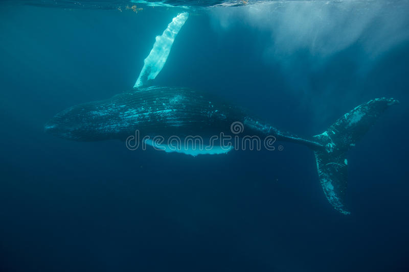 Humpback Whale in Atlantic Ocean stock images