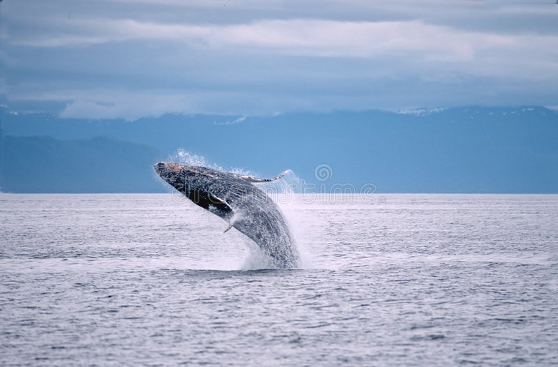 Humpback whale breach. Ing in Frederick Sound,SW Alaska