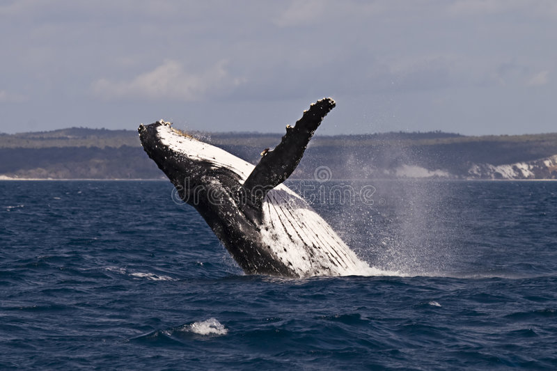Download Humpback whale breach stock image. Image of enthusiasm - 7918719
