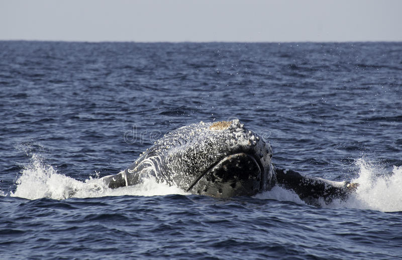 Humpback whale breach. Ing off the east coast of Africa during the annual migration north to warmer waters stock photo
