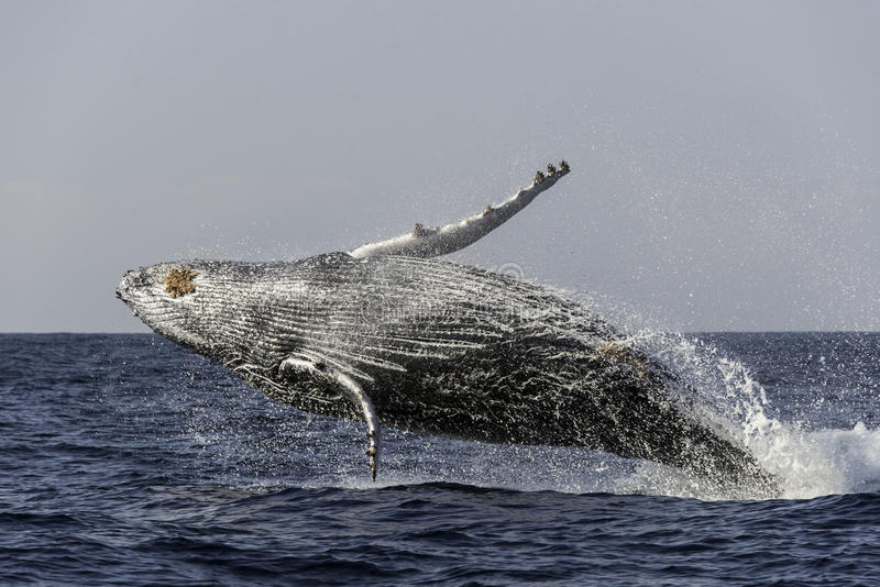 Humpback whale breach. Ing off the east coast of Africa during the annual migration north to warmer waters stock image