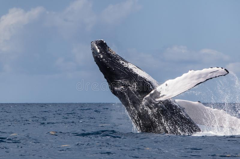 Humpback Whale Breaching Backwards in the Caribbean stock photo