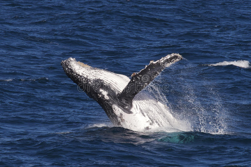 Humpback whale breaching in the Whitsundays stock images