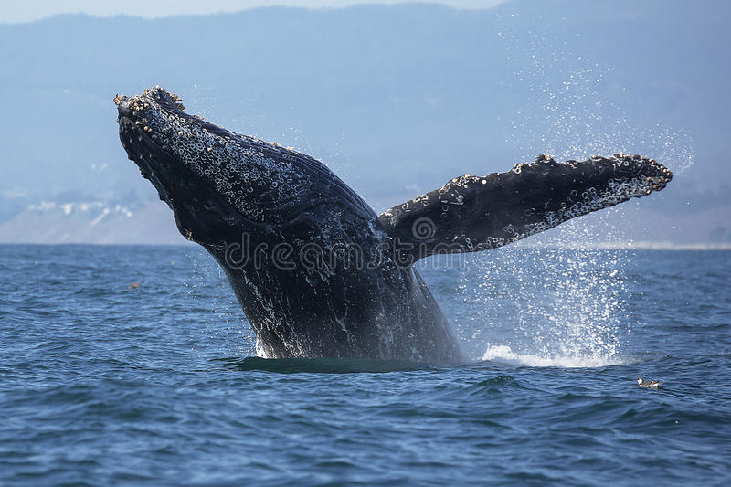 Humpback Whale Breaching. A humpback whale breaches out of the water in Monterey Bay, California stock images