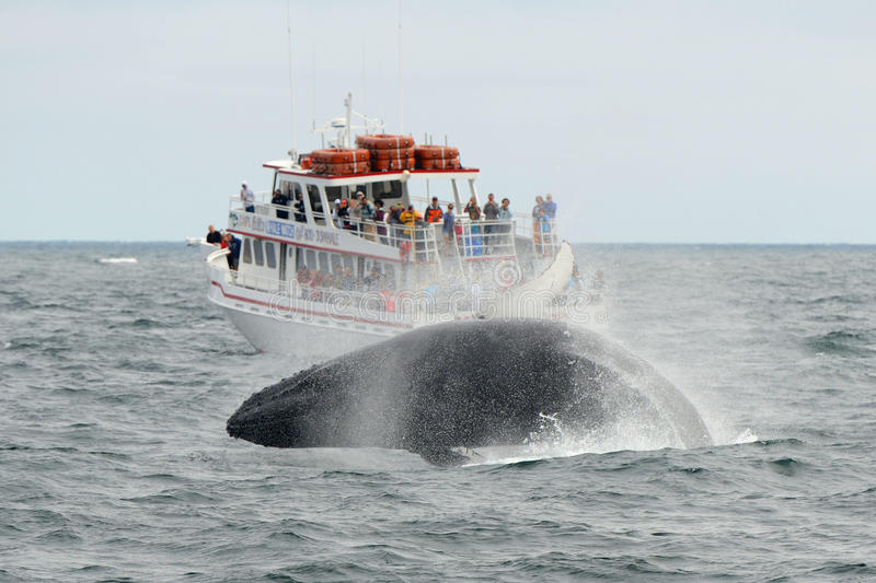 Humpback whale breaching, Cape Cod, Massachusetts. Humpback whale breaching out of the water in front of Whale Watching Boat Miss Cape Ann on the sea near royalty free stock photos