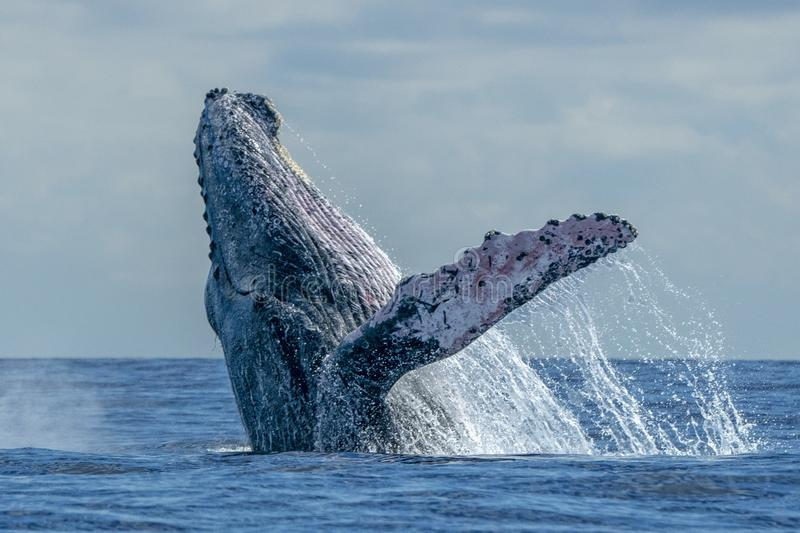 Humpback whale breaching stock images