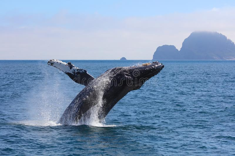 Humpback Whale Breaching Kenai Fjords National Park Alaska. A single humpback whale breaches out of the Pacific Ocean amongst mountains and tiny islands in Kenai royalty free stock photo