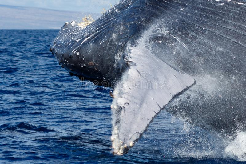Download Humpback whale breaching. stock image. Image of outdoor - 108852759