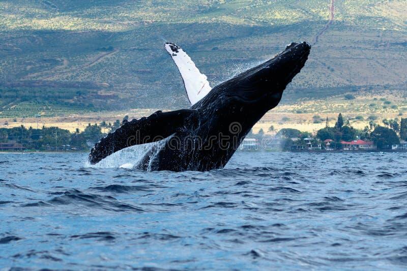 Humpback whale breaching. Humpback whale breaching in Lahaina, Maui, Hawaii, Taken 01.2018 royalty free stock photo