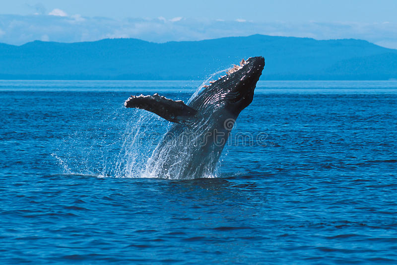 Humpback whale breaching (Megaptera novaeangliae), Alaska, South royalty free stock photography