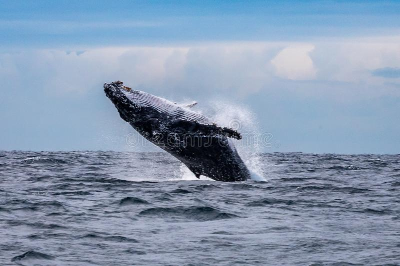 Humpback whale breaching off Manly beach, Sydney, Australia royalty free stock photography