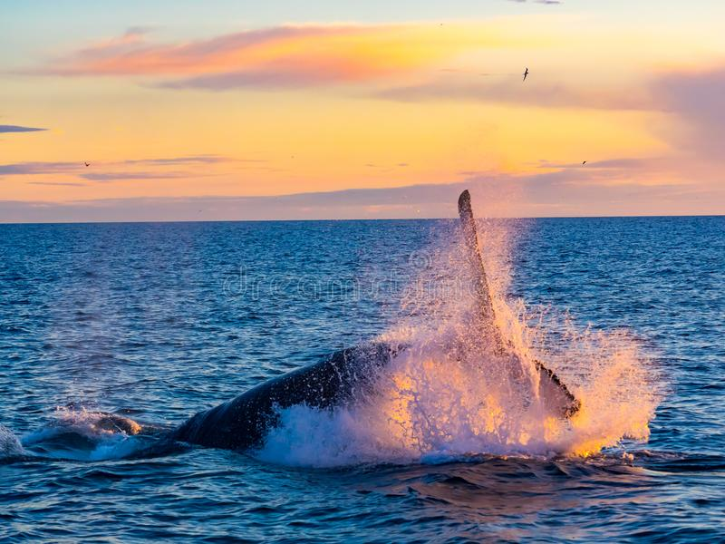Humpback Whale breaching out of water in the morning light stock photography
