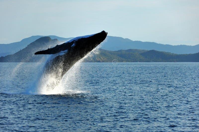 Humpback Whale Breaching, Whitsundays, Australia stock image