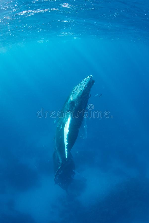 Humpback Whale Calf Rising to Surface in Caribbean Sea royalty free stock photography