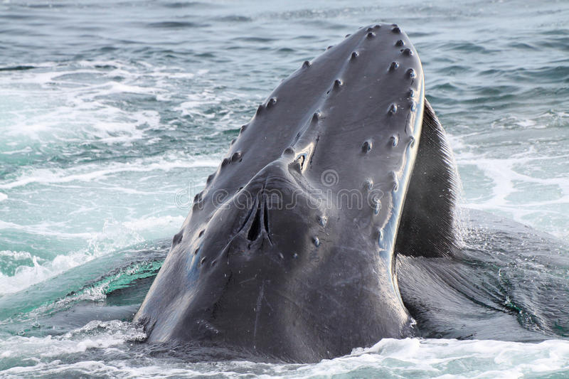 Humpback whale. A humpback whale comming up to breath royalty free stock image
