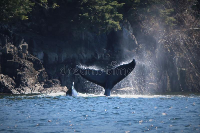 It`s a whale of a tale tail. Humpback whale. A humpback whale diving for herring. Water dripping off tail in air with sunlight shining in spray. Rocky shore in royalty free stock photo