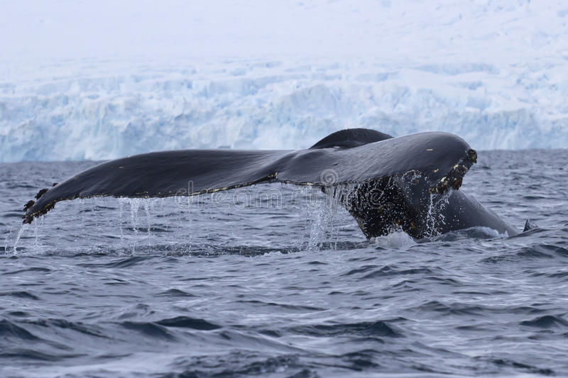 Humpback whale diving in the water off the Antarctic Peninsula. Humpback whale diving in the ocean water off the Antarctic Peninsula stock photos