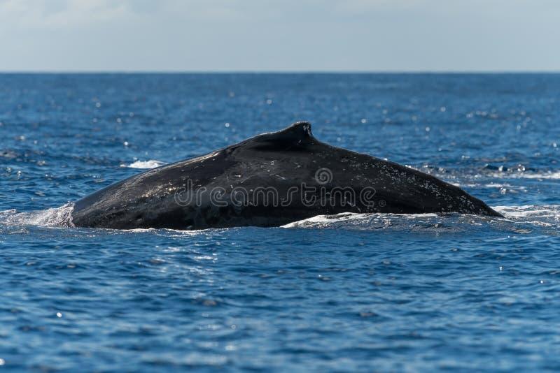 Humpback whale dorsal fin. Hawaii, Maui, Lahaina, Winter stock image