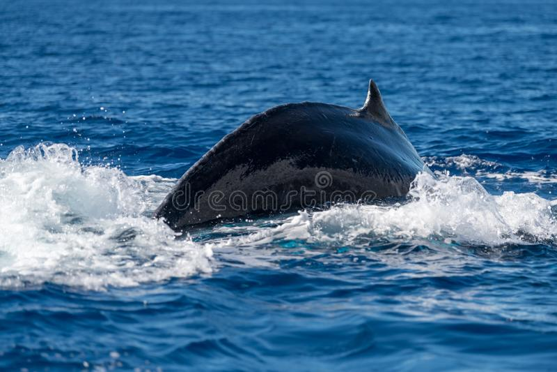 Humpback whale dorsal fin. Hawaii, Maui, Lahaina, Winter royalty free stock images