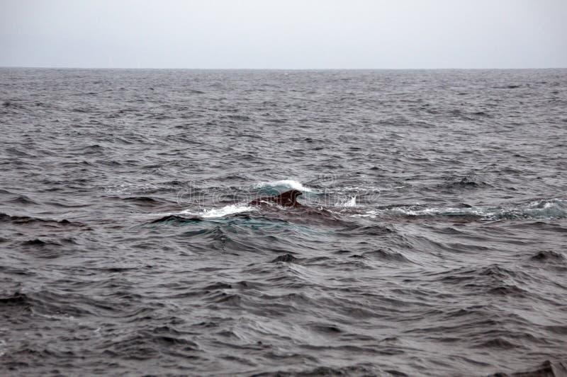 Humpback whale in Ecuador. Humpback whale off the coast of Puerto Lopez, Ecuador stock images