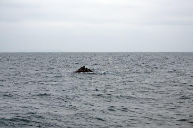 Humpback whale in Ecuador. Humpback whale off the coast of Puerto Lopez, Ecuador stock photos