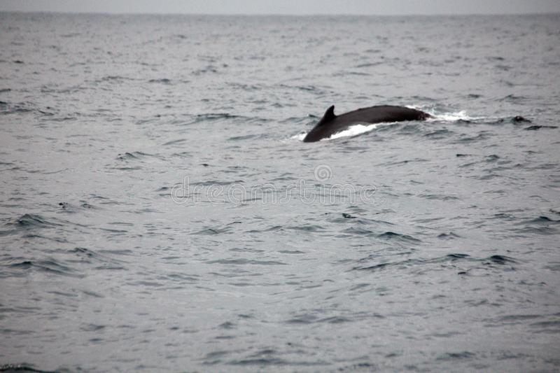 Humpback whale in Ecuador. Humpback whale off the coast of Puerto Lopez, Ecuador royalty free stock images
