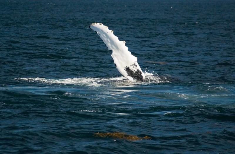 Humpback whale fin stock photography