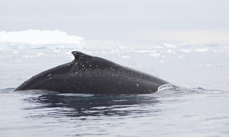 Download Humpback Whale Fin Royalty Free Stock Images - Image: 34794479