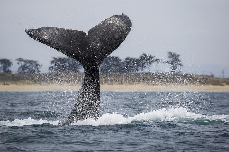 Humpback Whale Fluke. A humpback whale tail lobs in Monterey Bay, California royalty free stock photo