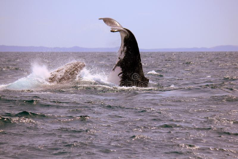 Humpback Whale nose-dive royalty free stock photos